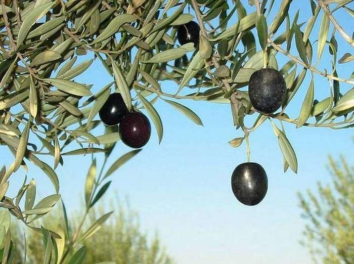 6. Однажды осуждённый на смерть попросил в качестве последнего ужина оливку с косточкой интересные факты, правда, прикол, факты
