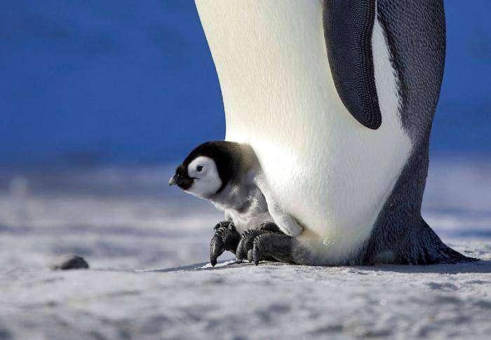 Как греются пингвины (11 фото)
