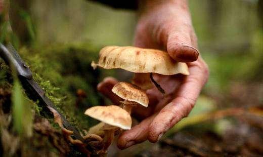 Новый вид ядовитых грибов появился в Подмосковье