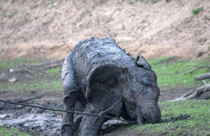 Спасение слона из грязевой лужи (15 фото)