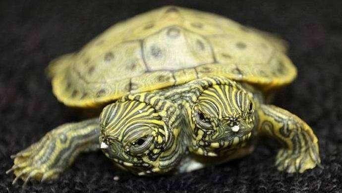 Двухголовая черепаха покорила Интернет