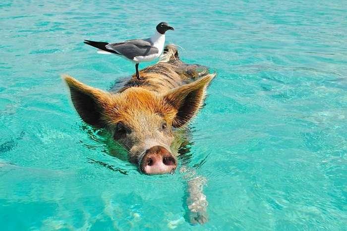 Уникальные плавающие свиньи на одном из Багамских островов