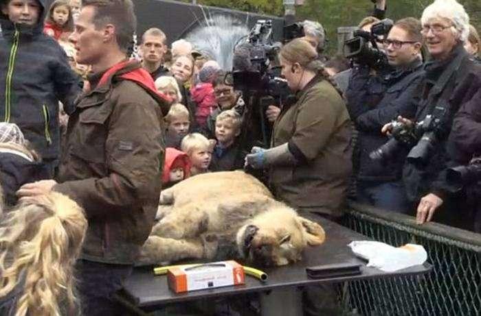 В зоопарке Дании публично препарировали львицу (9 фото)
