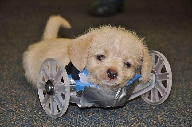 Инвалидную коляску для двуногого щенка создали с помощью 3D-принтера