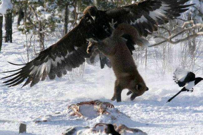 Бои в дикой природе