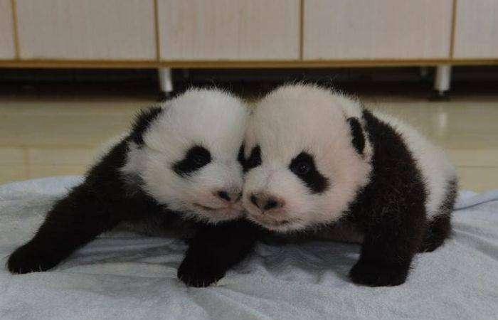 Китайский заповедник панд перевыполнил план рождаемости (9 фото)
