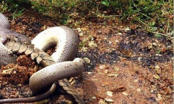 Смертельная схватка хищников: питон против крокодила (9 фото)