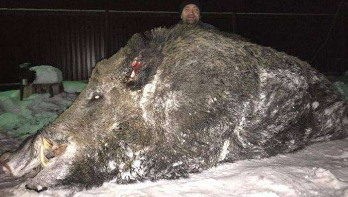 Челябинский охотник застрелил огромного кабана весом в полтонны (4 фото)