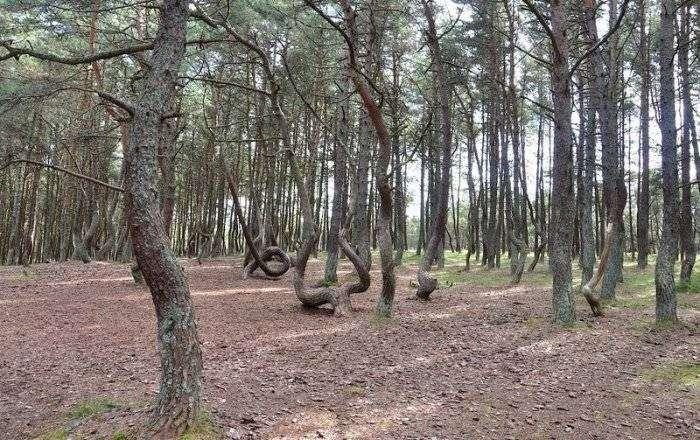 Танцующий лес у Балтийского моря (7 фото)