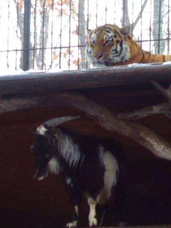 Храбрый козел, сумел постоять за себя против тигра (4 фото)