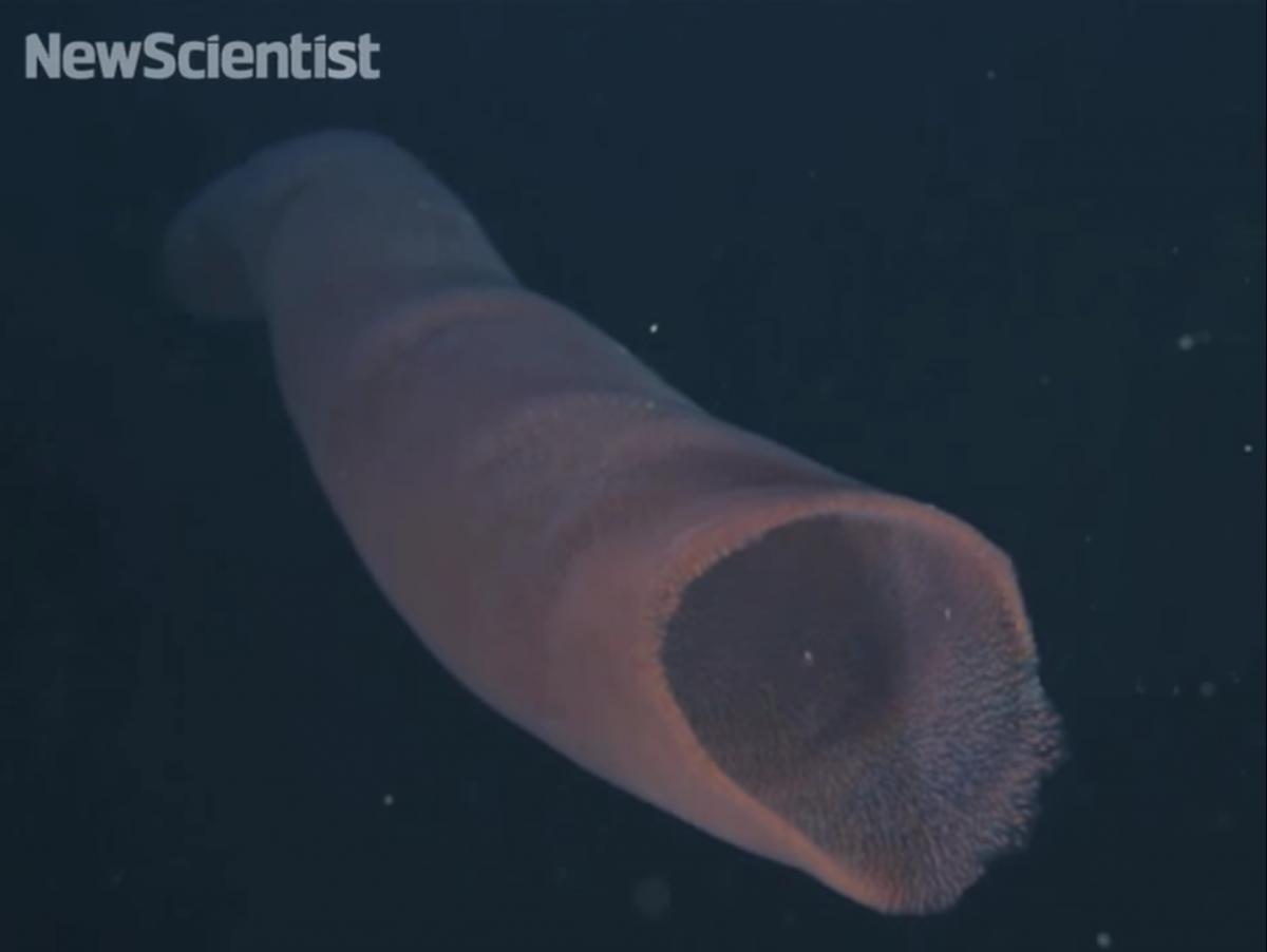 Пиросомы – одни из самых странных обитателей подводного мира