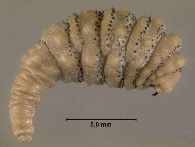 Поедатели человеческой плоти: от ушных червей до цитотоксических пауков