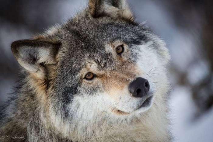 NewPix.ru - Волк. Закон стаи