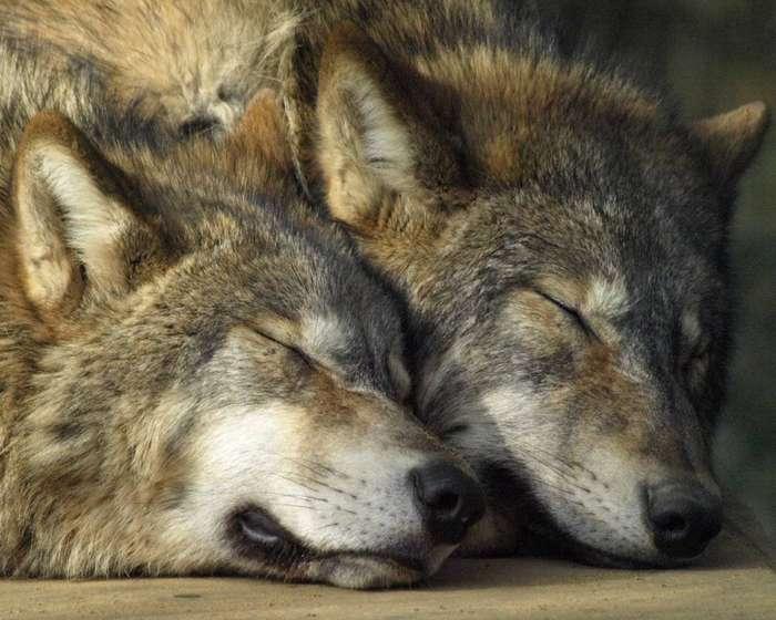http://chert-poberi.ru/wp-content/uploads/2015/11/wolf_05.jpg