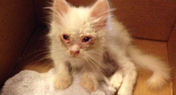 Спасённый котенок, находившийся на грани смерти превратился в огромный пушистый шар (11 фото)