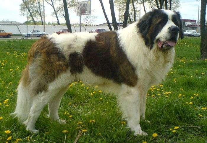 Самые большие в мире собаки (11 фото)