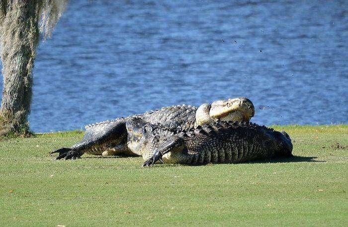 Во Флориде два аллигатора подрались на поле для гольфа (7 фото)
