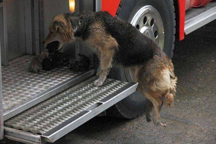 Собака спасает щенят (5 фото)