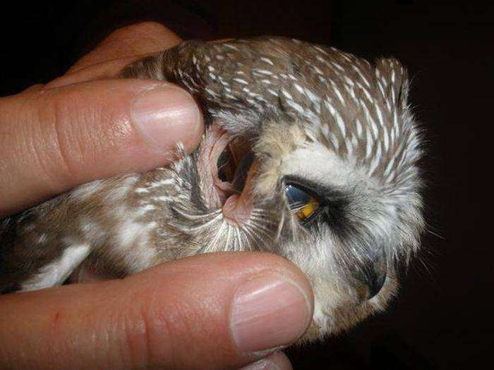 Что можно увидеть в ушах совы (4 фото)