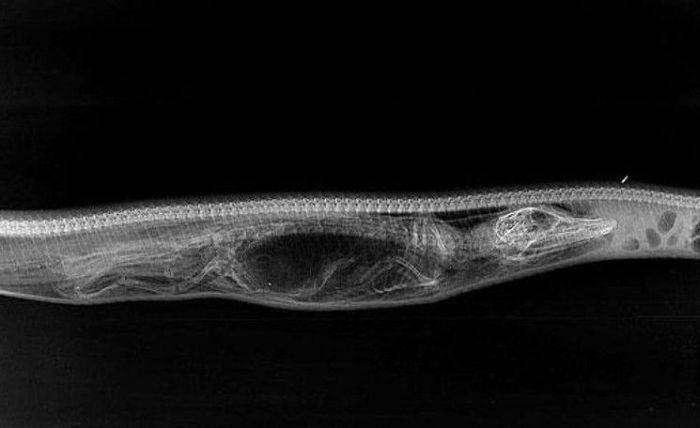 Как происходит переваривание крокодила в желудке питона (6 фото)