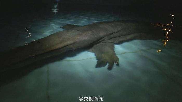 В Китае найдена редкая 200-летняя гигантская саламандра (4 фото)