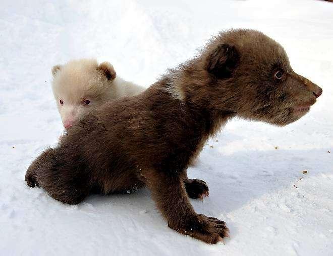 Медвеженок альбинос (14 фото)