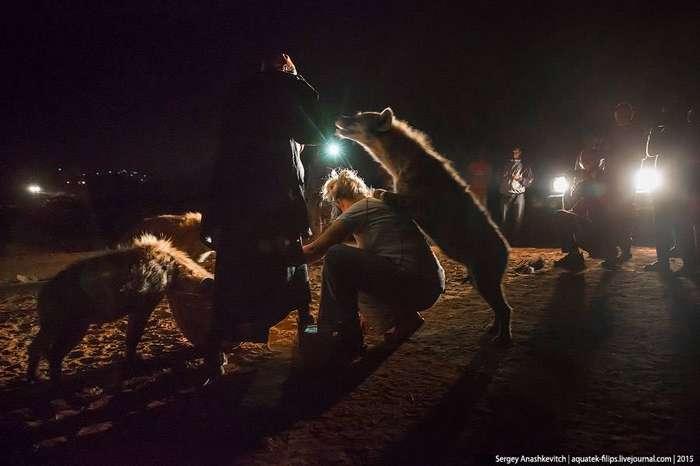 Развлечение не для слабонервных: кормление гиен в Хараре