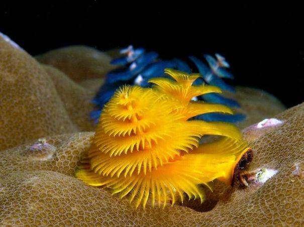 Морской червяк, похожий на новогоднюю елку