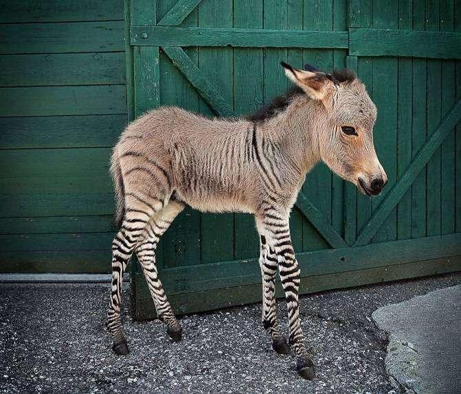18 удивительных гибридных животных, которые существуют на самом деле