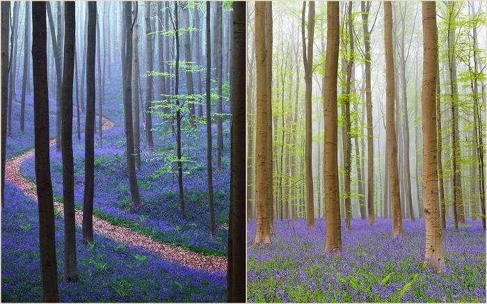 Местечко это носит название Халлербос - это красивейший лес, который славится своими дикими гиацинтами, голубые ковры которых покрывают все его окраины. Весной здесь всё буквально усеяно этими дивными цветами.