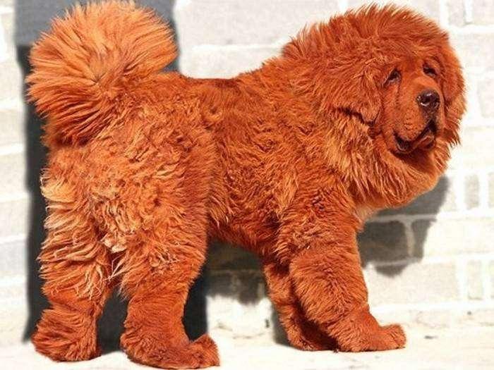 Тибетский мастиф - самый дорогой в мире четвероногий друг.
