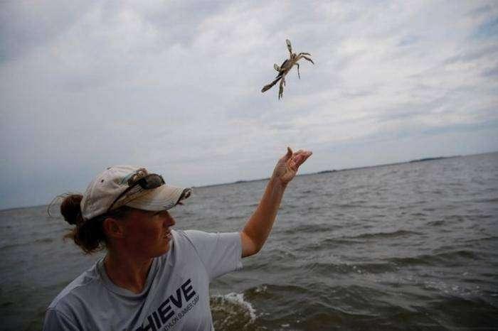 Как ловят голубых крабов (15 фото)