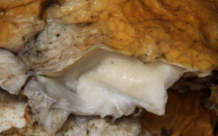 Огромный гриб бессмертия нашел везучий китаец (19 фото)