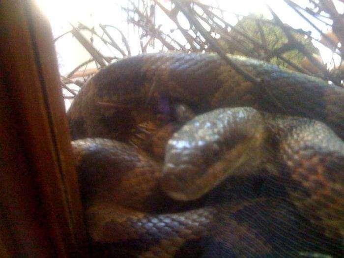 На пороге дома мужчина был укушен змеей прямо в лысину (5 фото)