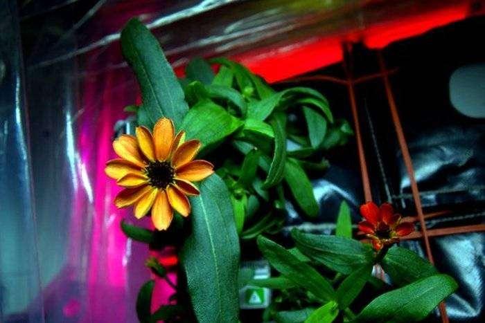 На борту МКС впервые распустился цветок астры-циннии (2 фото)