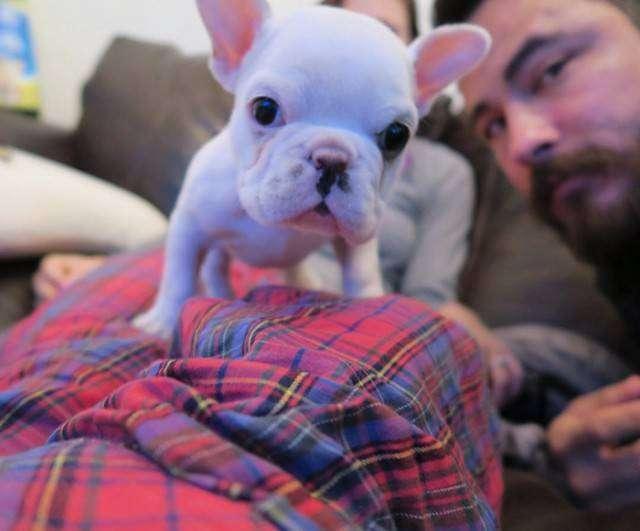 Милый щенок французского бульдога (9 фото)