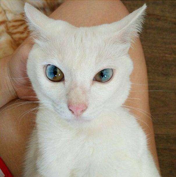 Волшебный взгляд кошек, страдающих гетерохромией (9 фото)
