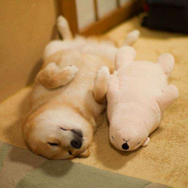 Милейший пес, который не может уснуть без своей игрушки (11 фото)