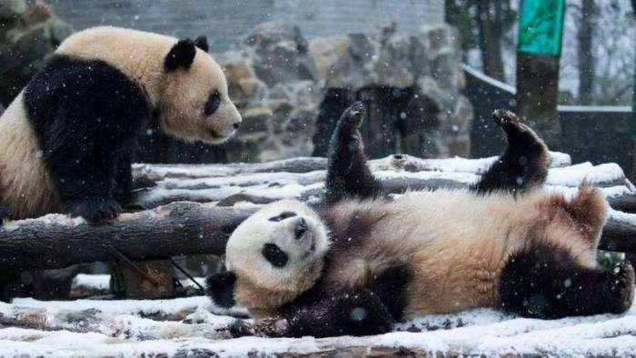 Панды радуются первому снегу (7 фото)