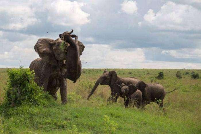 Трагическая встреча слона и буйвола (8 фото)