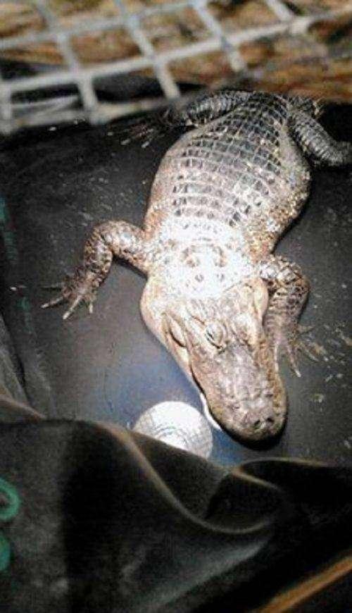В США сантехник обнаружил аллигатора (2 фото)