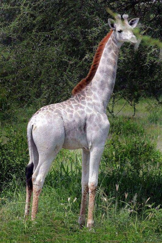 В национальном парке Танзании объявилась жираф-блондинка (5 фото)