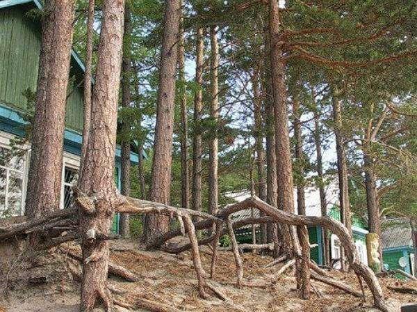 Ходячие деревья, способные преодолевать расстояние до 20 метров в год