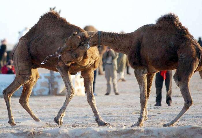 Бои верблюдов – Сельчук, Турция