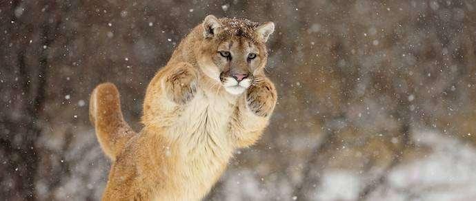 У застреленного в США льва нашли растущие из уха клыки
