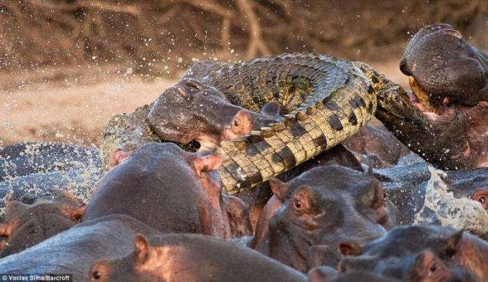 Крокодил отхватил (5 фото)