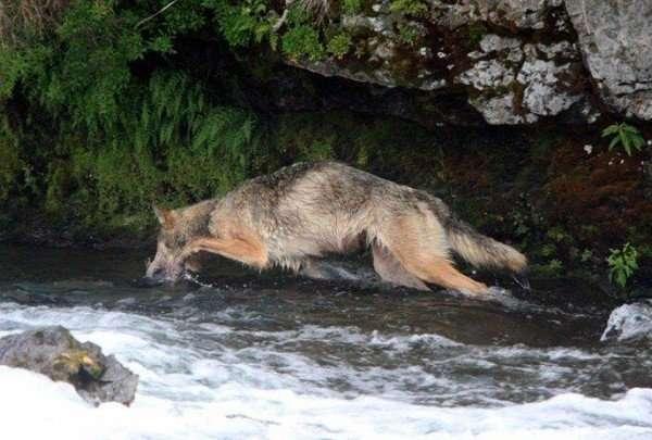 Волк на рыбалке (6 фото)