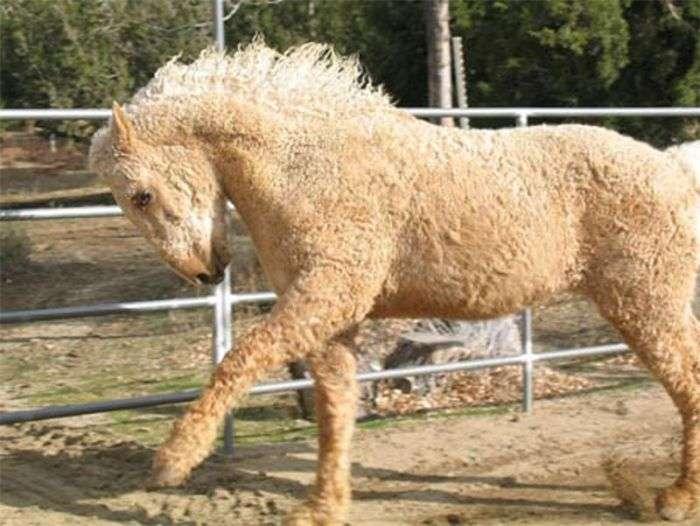 Экзотические лошади породы кучерявая Забайкальская (7 фото)
