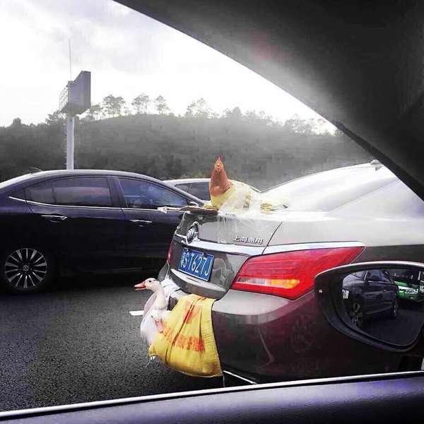 Как транспортируют живых птиц в  Китае (9 фото)