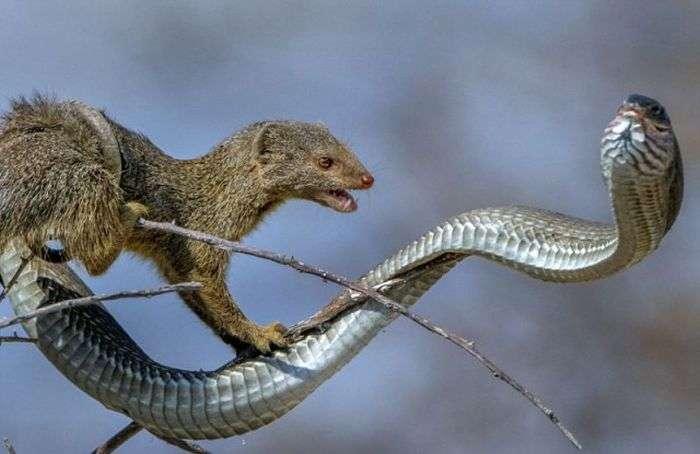 Мангуст решил полакомиться ядовитой змеей (8 фото)